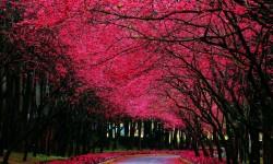 arvores rosas